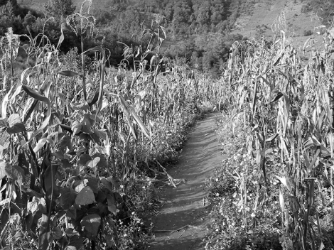 Una milpa en Guatemala